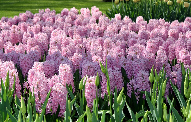 Photo wallpaper flowers, garden, pink, Netherlands, Keukenhof Gardens, hyacinths