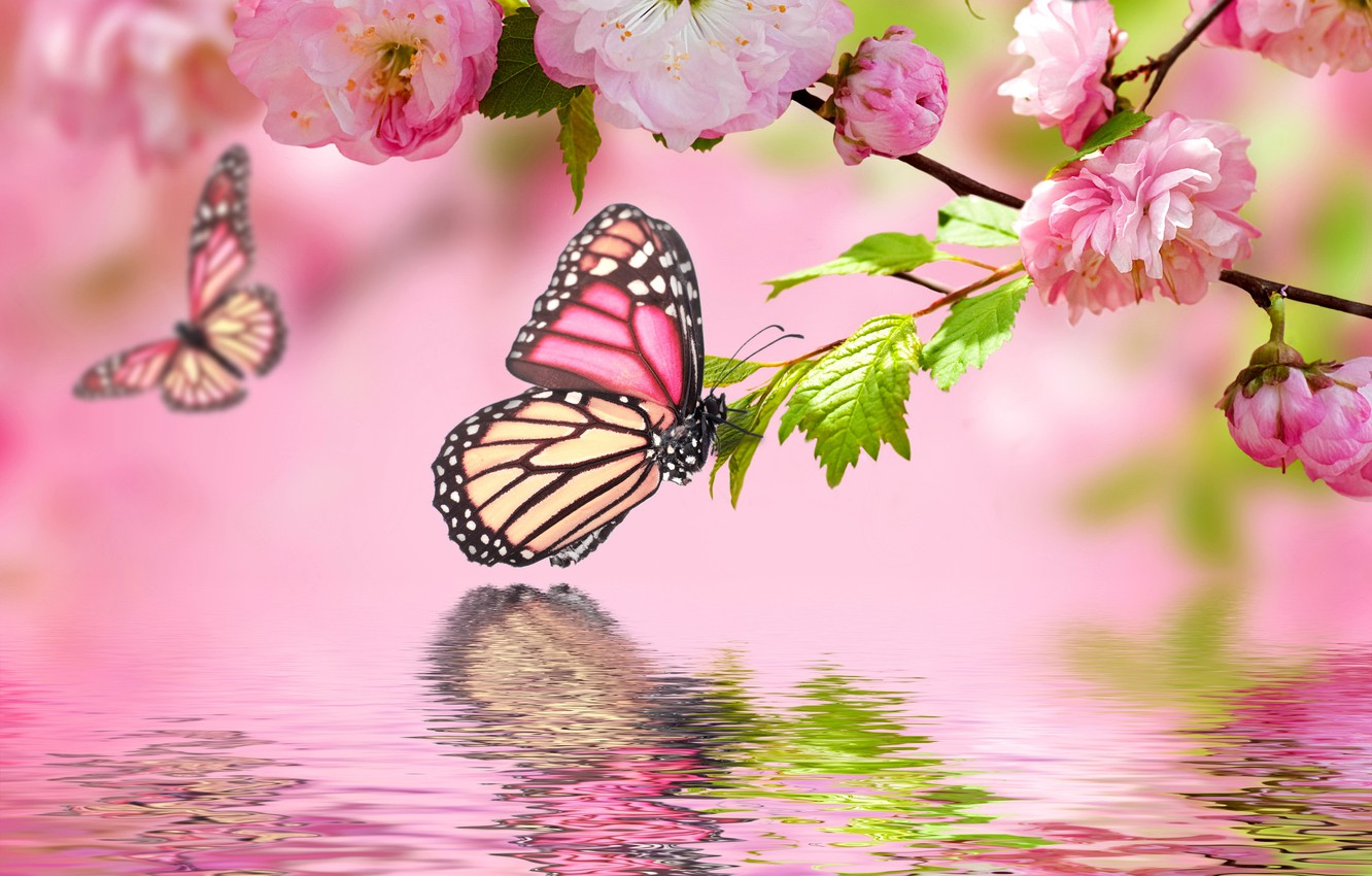 Wallpaper Water Butterfly Reflection Pink Spring Flowering