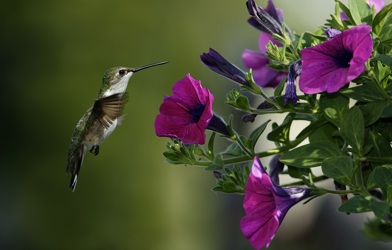 Photo wallpaper macro, flowers, bird, Hummingbird, Petunia