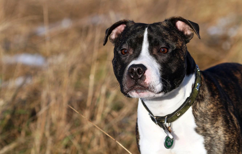 Photo wallpaper each, dog, English Staffordshire bull Terrier, Staffordshire Bull Terrier