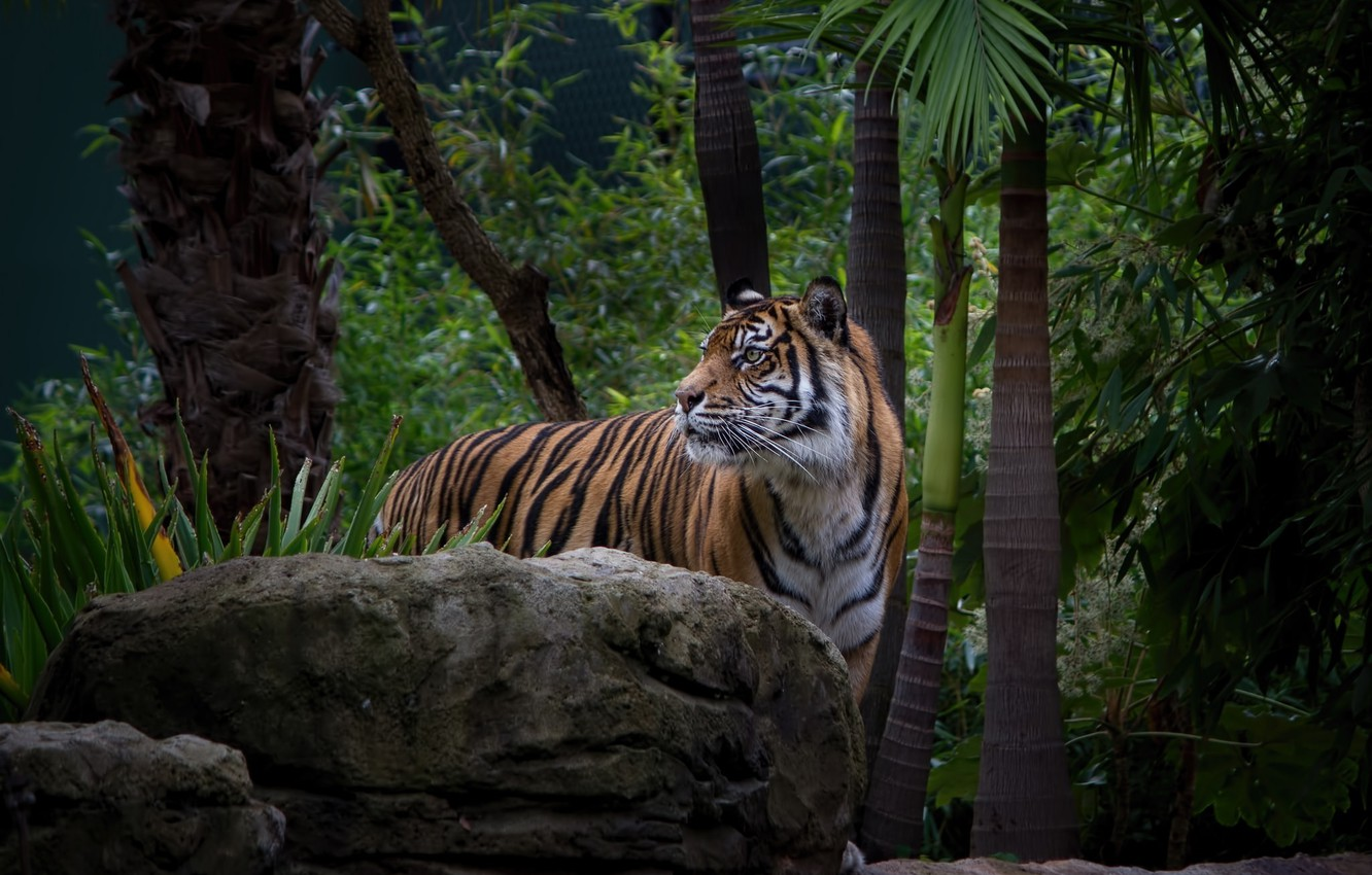 Photo wallpaper face, tiger, thickets, predator, wild cat, zoo