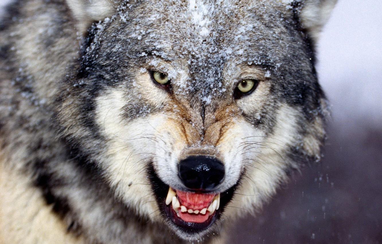 Photo wallpaper winter, wolf, fangs, grin