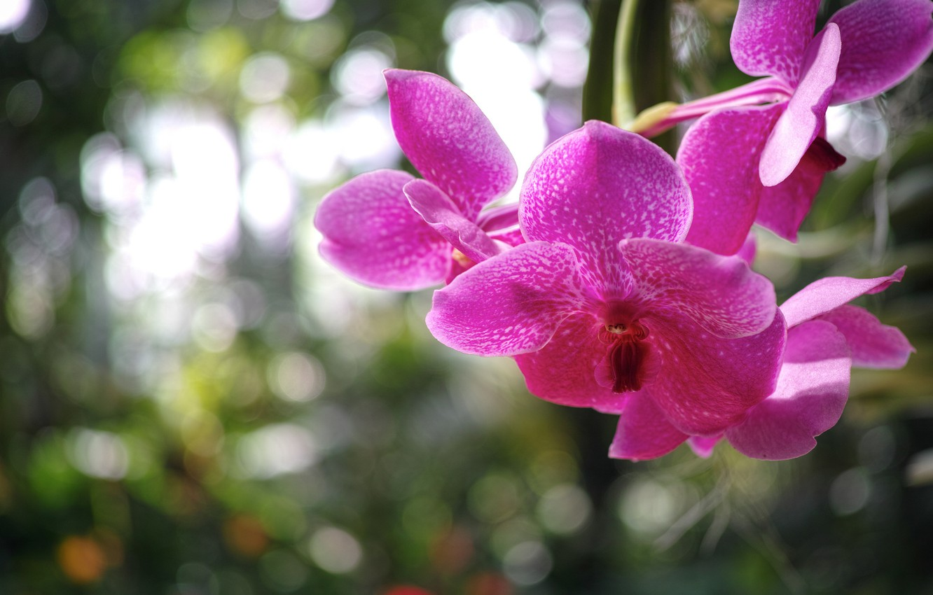 Photo wallpaper macro, flowers, glare, petals, blur, Orchid, raspberry
