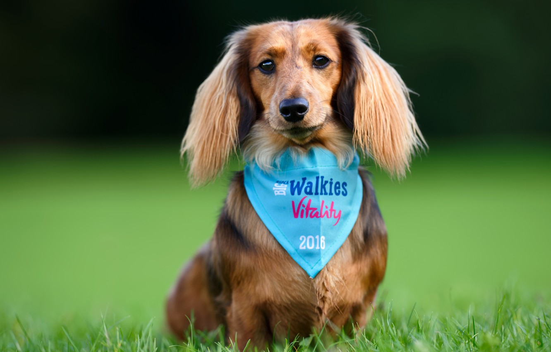 Photo wallpaper grass, look, dog, posing, Dachshund