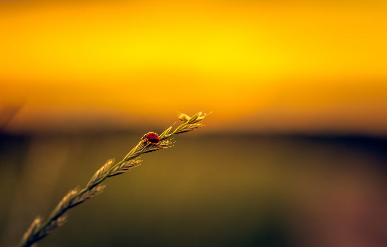 Photo wallpaper field, ladybug, stalk, seeds, sunset.jpg