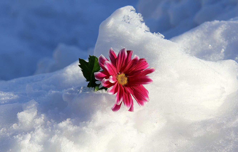 Wallpaper Winter Flower Snow Images For Desktop Section