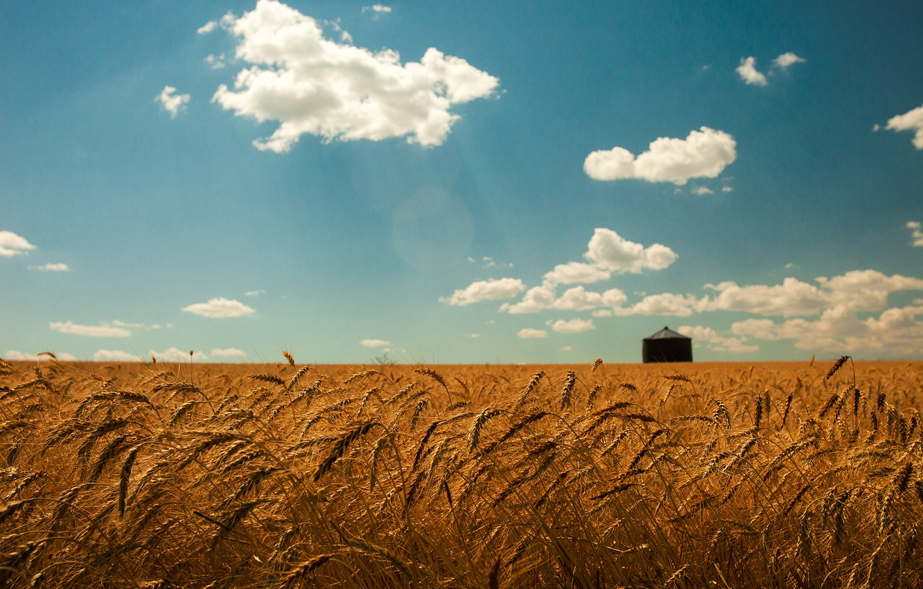 Photo wallpaper wheat, field, summer, the sky, clouds, gold, spikelets