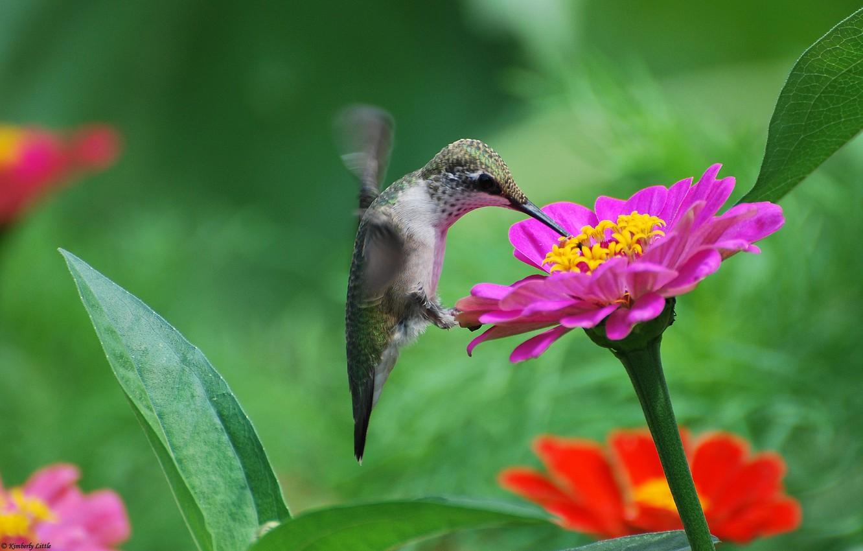 Photo wallpaper flowers, nectar, bird, pink, Hummingbird, tsiniya