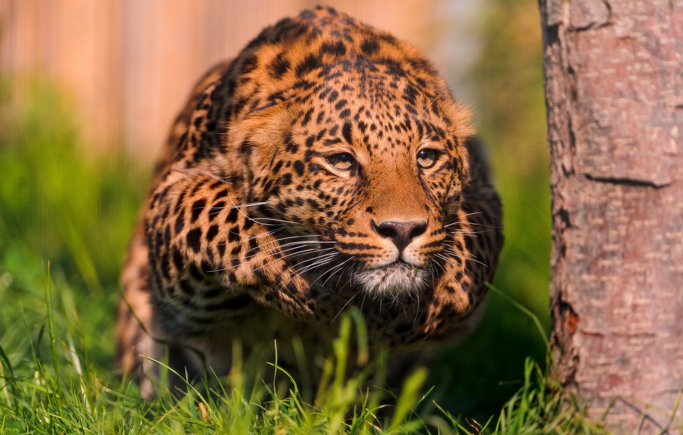 Photo wallpaper leopard, stand, readiness, throw
