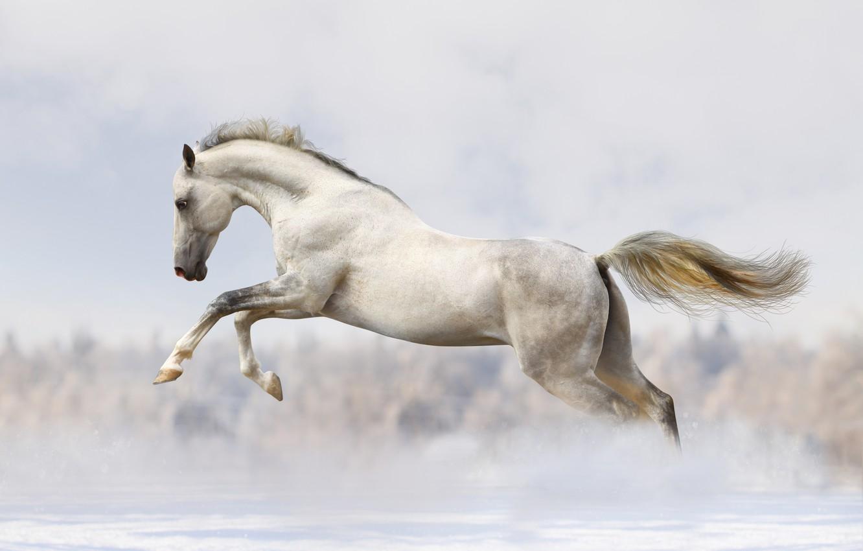 Photo wallpaper snow, white horse, running