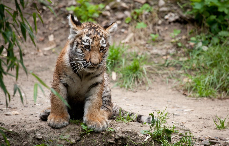 Photo wallpaper cat, tiger, cub, tiger