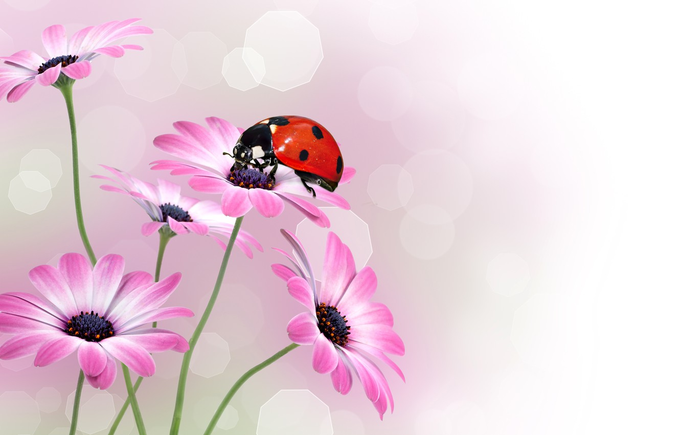 Photo wallpaper macro, glare, background, ladybug, insect, osteospermum