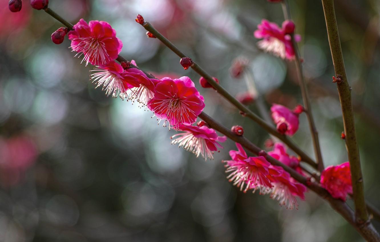 Photo wallpaper macro, flowers, branches, glare, Tree, petals, blur, flowering, raspberry, drain