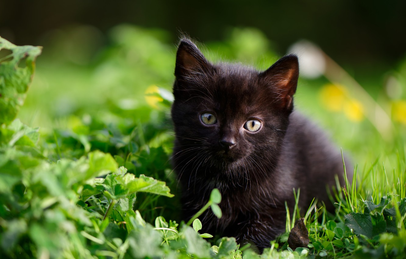Wallpaper Grass Look Baby Kitty Black Kitten Images For Desktop Section Koshki Download