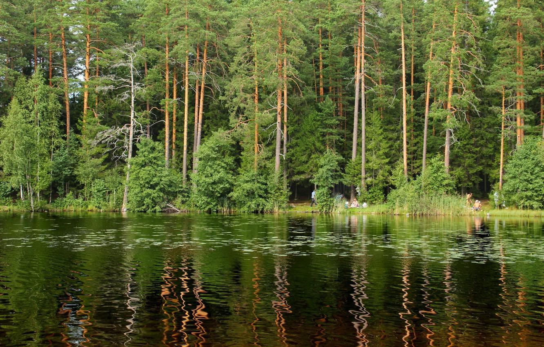 Photo wallpaper forest, trees, nature, lake, photo, Saint Petersburg, Russia, Shchuchye, Komarovo