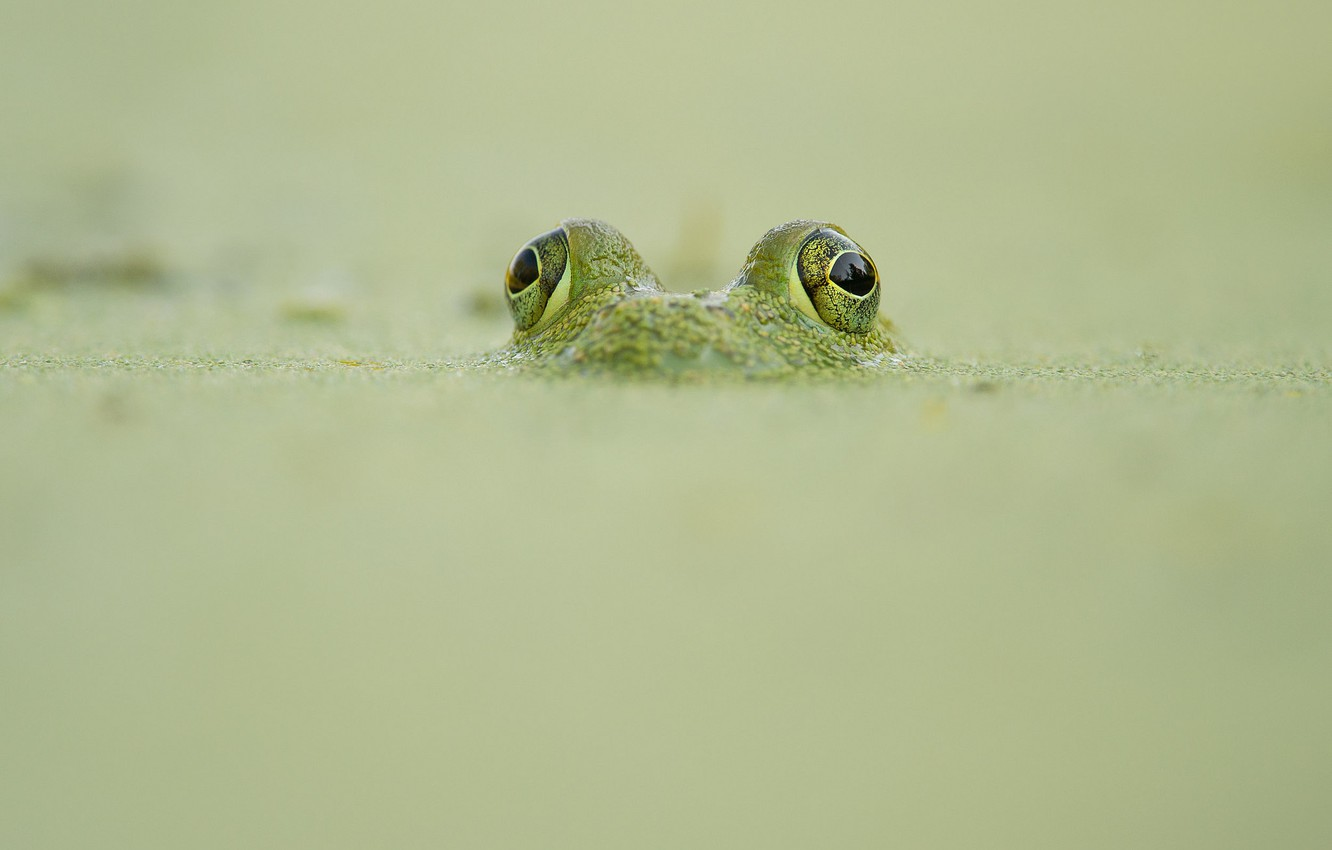 Photo wallpaper frog, wildlife, camouflage, looking out