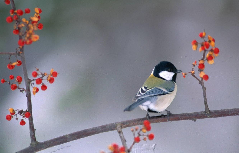 Photo wallpaper berries, bird, branch, bird, tit