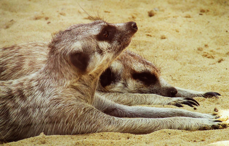 Photo wallpaper sand, Meerkat, pair, Logins