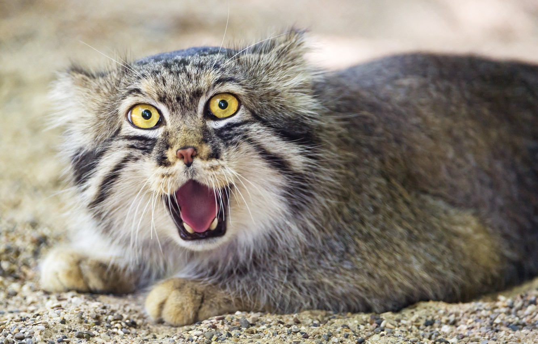 Photo wallpaper cat, manul, ©Tambako The Jaguar