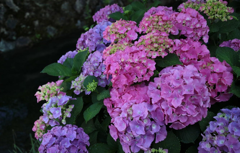 Photo wallpaper flowers, inflorescence, hydrangea