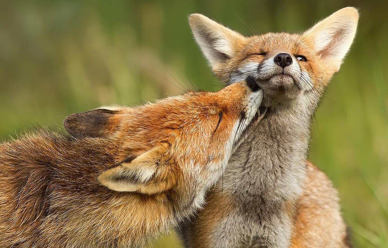 Photo wallpaper predator, Fox, fox