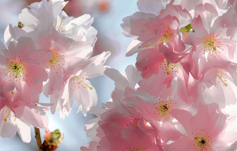Photo wallpaper the sky, flowers, branches, cherry, beauty, spring, petals, Sakura, gentle, pink, buds, flowering, sky, pink, …