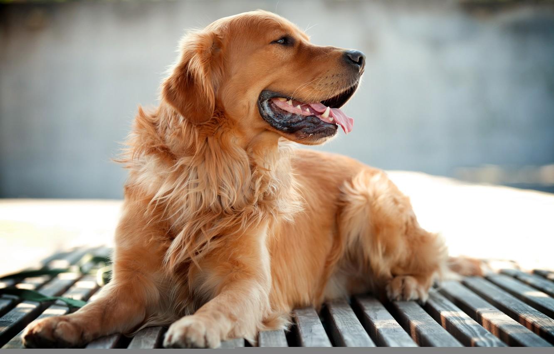 Photo wallpaper background, each, dog, Retriever