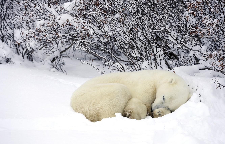 Photo wallpaper winter, forest, snow, Polar bear