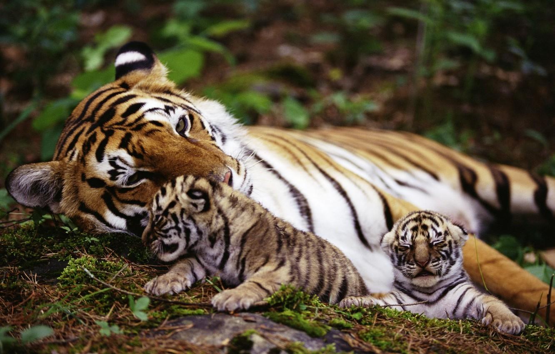 Photo wallpaper animals, nature, tiger, animals, nature, tigers