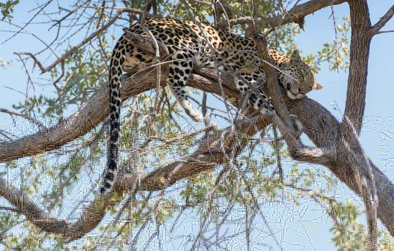Photo wallpaper branches, tree, stay, sleep, predator, leopard, tail, Africa, wild cat