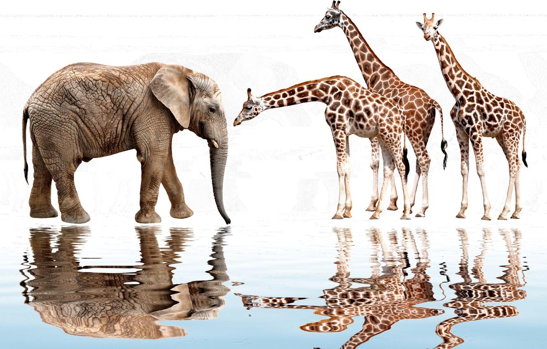 Photo wallpaper water, reflection, elephant, photoshop, ruffle, giraffes, white background