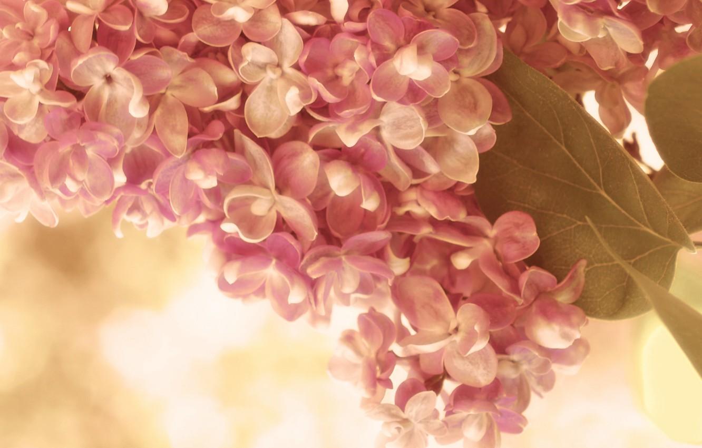 Photo wallpaper leaves, macro, flowers, sprig, pink, tenderness, spring, cream, lilac