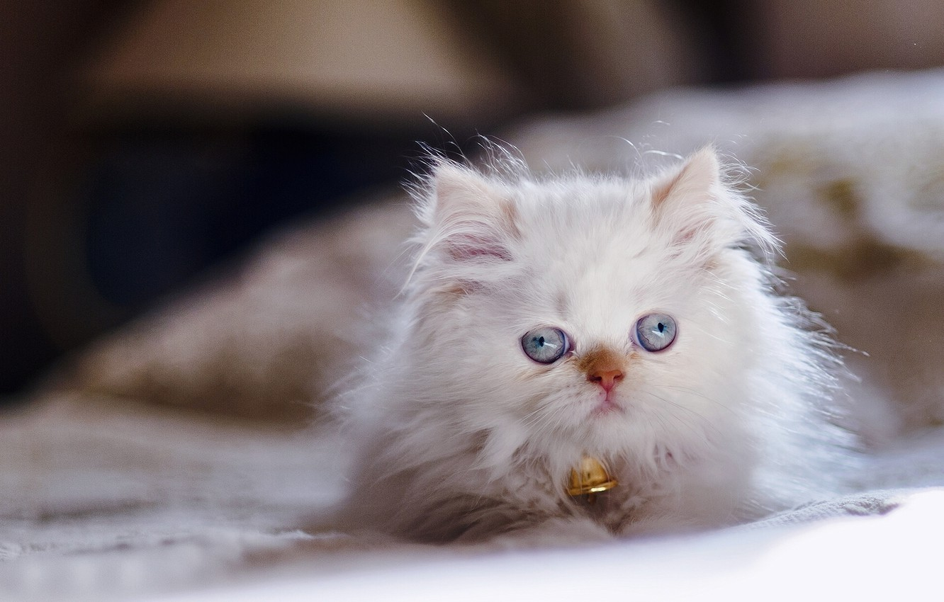 Photo wallpaper look, kitty, blue eyes, Persian color-point, Himalayan cat