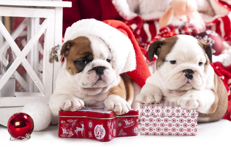 Photo wallpaper dogs, gift, toy, ball, puppies, cap, box, English bulldog