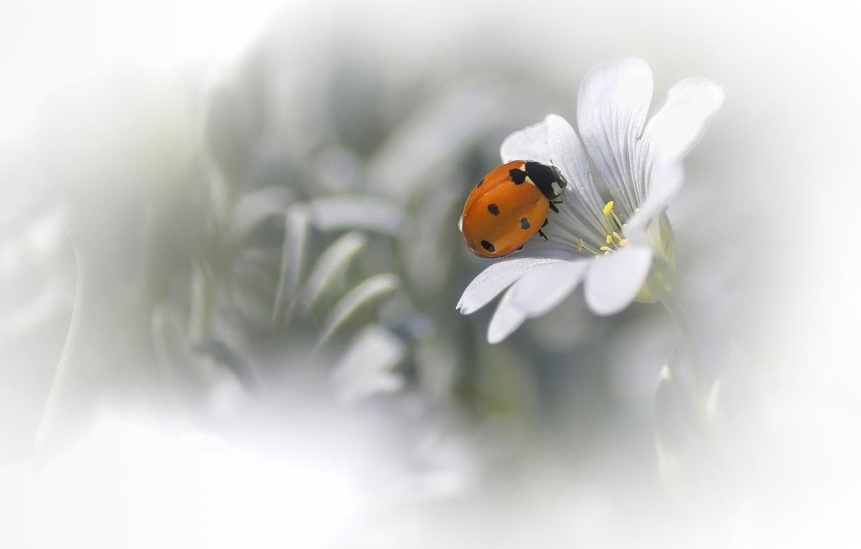 Photo wallpaper white, flower, background, ladybug, blur