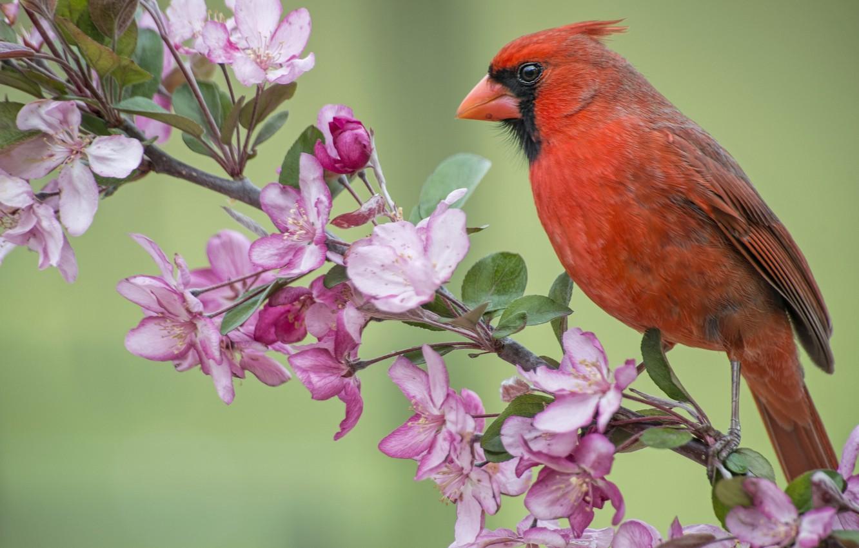 Photo wallpaper bird, branch, spring, Apple, flowering, flowers, cardinal, Red cardinal