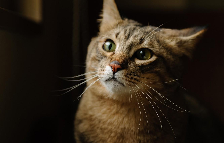 Photo wallpaper cat, cat, face, background, Kote