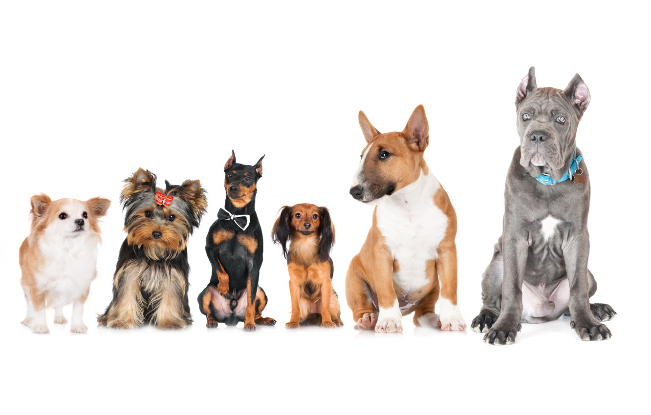 Photo wallpaper animals, dogs, photo, Bull Terrier, Chihuahua, Yorkshire Terrier, Doberman, Russkiy Toy