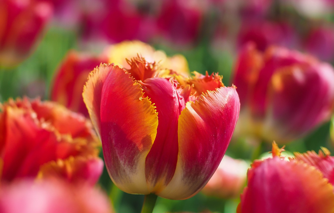 Photo wallpaper macro, Bud, tulips, bokeh