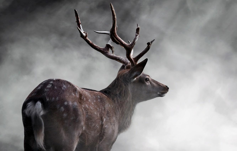 Photo wallpaper Deer, Horns, Animals
