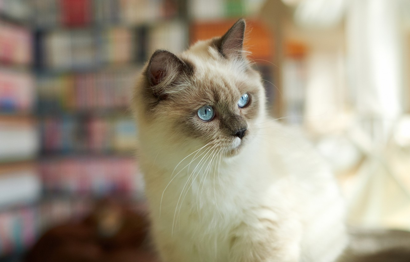 Photo wallpaper cat, cat, look, attention, fluffy, Siamese