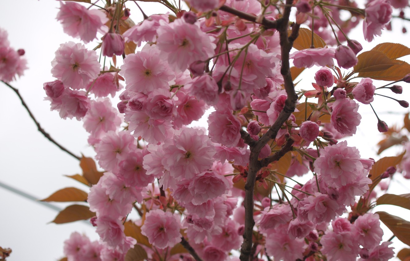 Photo wallpaper the sky, macro, flowers, tree, branch, tenderness, spring, petals, Sakura, pink