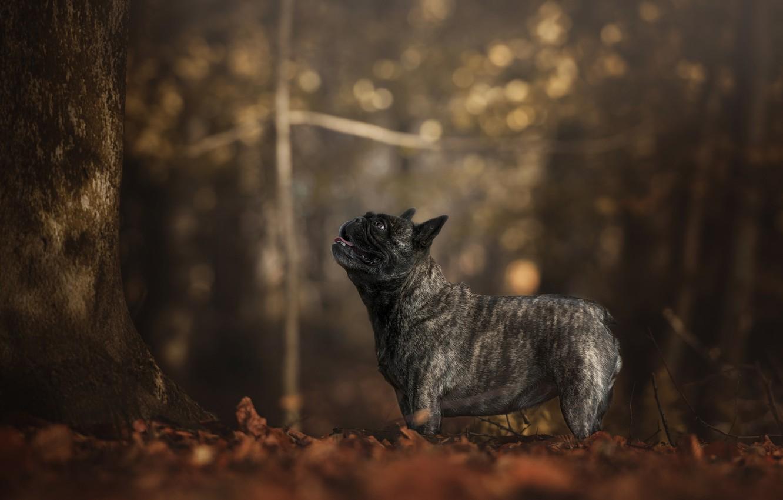 Photo wallpaper autumn, forest, look, trees, foliage, dog, profile, bokeh, French bulldog