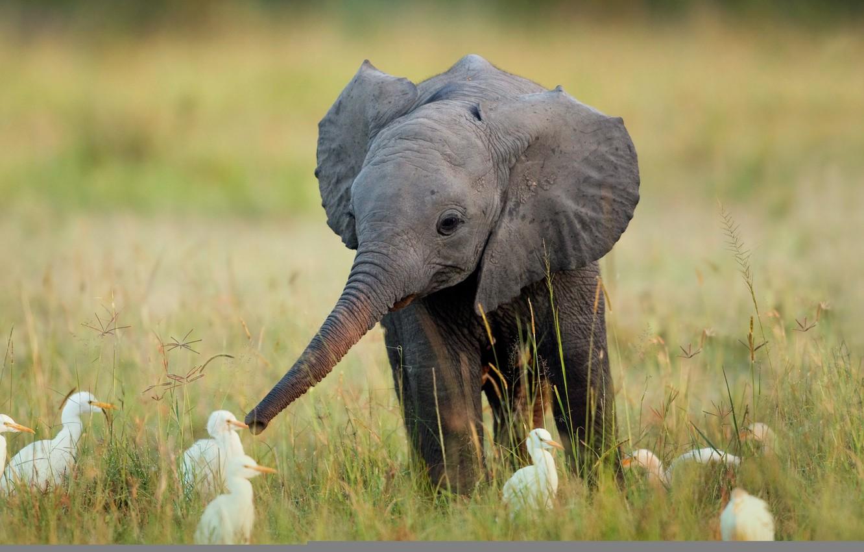 Photo wallpaper grass, birds, elephant, Africa, elephant