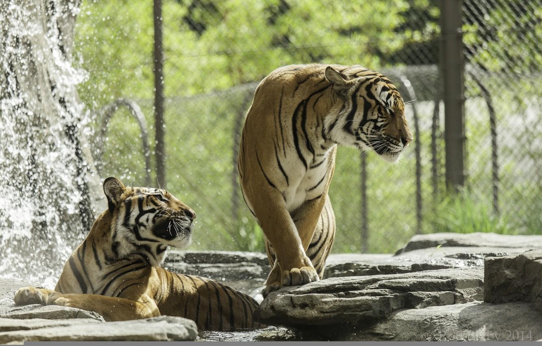 Photo wallpaper predators, bathing, pair, wild cats, tigers, zoo