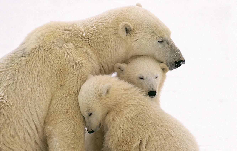 Photo wallpaper bears, white, bears, bear