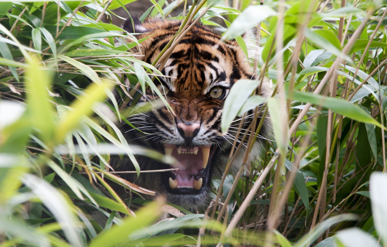 Photo wallpaper grass, tiger, predator, rage, mouth, fangs
