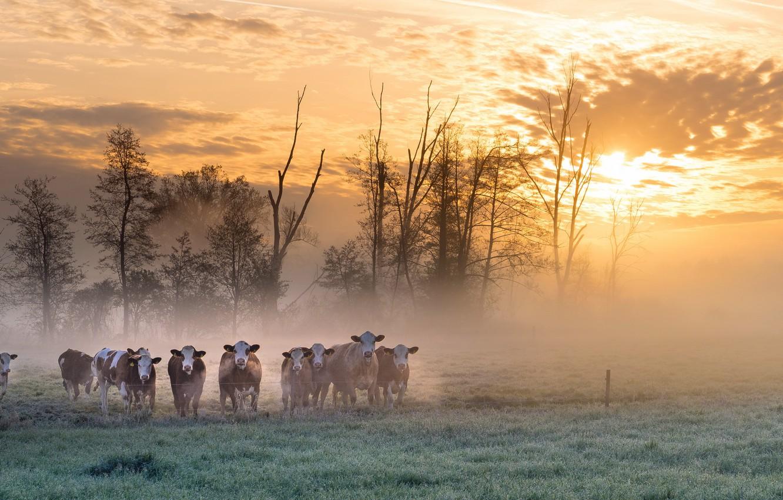 Photo wallpaper field, fog, morning, cows