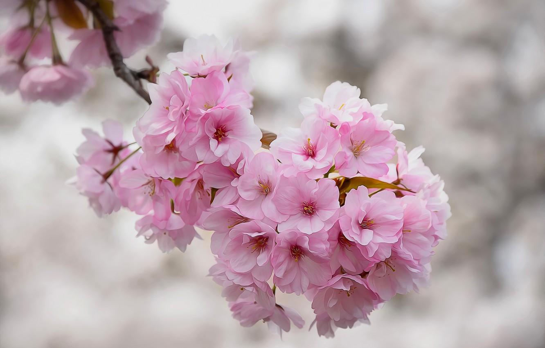 Photo wallpaper macro, cherry, branch, texture, Sakura, flowering, flowers