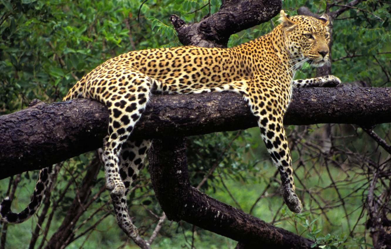 Photo wallpaper nature, tree, animal, predator, paws, leopard, lies, color